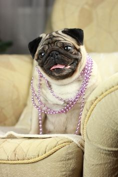Pretty pug on a sofa looking glamorous.