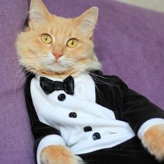 Cat Refuses to Participate in Casual Fridays — Will Dressing Fancy Earn Him a Promotion?
