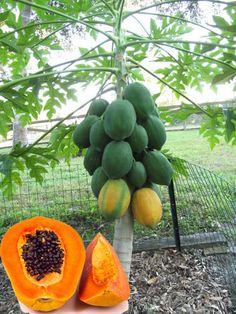 Very Fresh Rare Dwarf Waimanalo Papaya Tropical Fruit Tree Seeds Plant for sale online Dry Plants, Fruit Plants, Bonsai Plants, Home Garden Plants, Fruit Garden, Full Shade Plants, Papaya Tree, Plantas Bonsai, Fruit Seeds