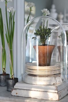 Curious Details: January Paperwhites and Fern Glass Bell Jar, The Bell Jar, Bell Jars, Small Potted Plants, Indoor Plants, Indoor Garden, Glass Globe, Glass Domes, Farmhouse Style
