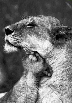 Cub. The Animals, Baby Animals, Wild Animals, Beautiful Cats, Animals Beautiful, Big Cats, Cats And Kittens, Kitty Cats, Gato Grande