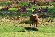 Richmond Park is the largest of London's eight Royal Parks and is the biggest enclosed space in London. It is home to the beautiful Isabella Plantation, Pembroke Lodge and herds of Red and Fallow deer.