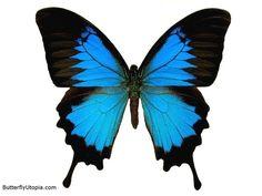 Ulysses Swallowtail Butterfly