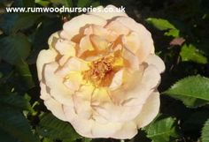 British Roses - Potted and bare root rose climbers for north facing walls available to buy online Seed Pods, Plants, Garden, Front Garden, Gorgeous Gardens, Climbing Roses, Grass, Rose, Flowers