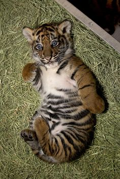 Baby tiger!!! Aww it's sooo cute! It's eyes r soooo pretty!:)<3