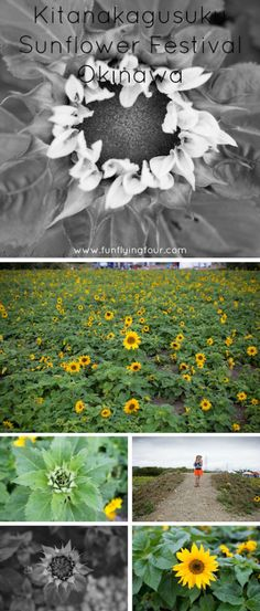 Kitanakagusuku Sunflower Festival Okinawa Japan, things to do in Okinawa, Fun Flying Four