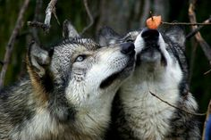 Cute wolf couple