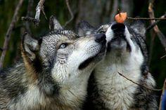 Cute wolf couple