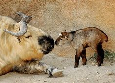 Baby takin saying hello to her dad.