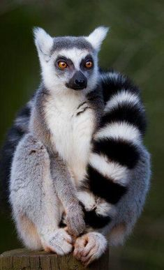 Kim, the lemur I am best friends with, looks like this. I am also friends with a lemur named Clarence that looks like this. Nature Animals, Animals And Pets, Baby Animals, Funny Animals, Cute Animals, Loom Animals, Cute Creatures, Beautiful Creatures, Animals Beautiful