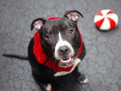 SHARES/PLEDGES/PINS/RESCUE/ADOPT/FOSTER  THIRD TIME IN SHELTER and URGENT  Manhattan Center   DUNKIN - A0957155  *** RETURNED ON 11/24/13 *** NEW SAFER: EXPERIENCED HOME ***   NEUTERED MALE, BLACK / WHITE, PIT BULL MIX, 4 yrs  RETURN - EVALUATE, HOLD FOR ID Reason LLORDPRIVA  Intake condition NONE Intake Date 11/24/2013, From NY 10036, DueOut Date 11/24/2013 Original thread…