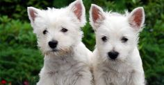 The West Highland White Terrier, commonly known as the Westie, is a Scottish breed of dog with a distinctive white coat. Source by The post The West Highland White Terrier, commonly known as the Westie, is a Scottish bre& appeared first on WR Pets. West Highland Terrier, Westie Puppies, Terrier Puppies, Cute Puppies, Dogs And Puppies, Doggies, Chihuahua Dogs, Terrier Mix, Dog Breeds