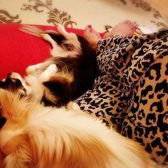 みんなでまったりんこ🐶👱🏡🌛 この時間はとても幸せ(〃´ω`〃) 💕SWEET DREAMS🌃🌏💕 #diary #mylife #lifestyle #happiness #幸せ#しあわせな時間 #❤️ #instagood #instalike #followme #photooftheday #まったり #chihuahua #chihuahuas #myfashion #chihuahuagram #チワワ #愛犬 #わんこ #instadog #dog #mylifedog #myfamily #チワワ部 #ilovemydog #goodnight #ロングコートチワワ #レオパード