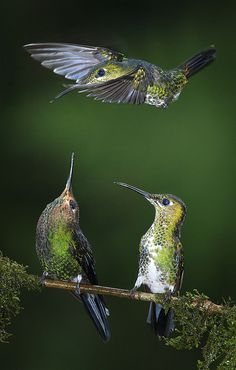 Occupied by csabatokolyi, via Flickr Green-crowned Brilliant hummingbird male drives off another female