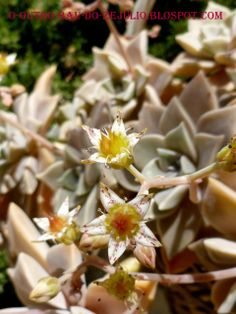 Graptopetalum paraguayense em flor durante o mês de março