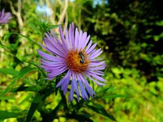 How North America Lost Its Asters — In Defense of Plants Aster, Native Plants, Shrubs, North America, Bee Keeping, Pictures, Image, American, Photos