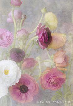 Ranunculus by Georgianna Lane