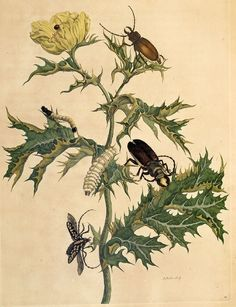 Metamorphosis of beetles [Credit: Maria Sibylla Merian (1647-1717): Metamorphosis insectorum Surinamensium, 1705]