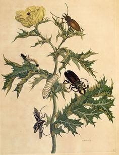 Metamorphosis of beetles [Credit: Maria Sibylla Merian (1647-1717): Metamorphosis insectorum Surinamensium, 1705]
