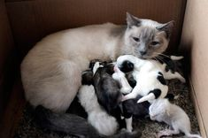 A cat with no dog issues  A Siamese cat named Amanda, owned by Debbie Girting of Beaver, Pa., is shown here nursing her two newborn kittens along with an orphaned litter of puppies in March 2010. Lucy, Girting's Maltese Pomeranian dog, gave birth to seven pups on March 7, and Amanda's kittens were born on the exact same day. Sadly, four days later, Lucy had a seizure and died. Amanda stepped right up and adopted the puppies as her own.