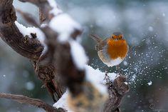 Robin Robin Photos, Robin Redbreast, Robin Bird, Winter's Tale, All Gods Creatures, Pretty Birds, Christmas Fashion, Autumn Inspiration, Jack Frost