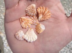 Kitten's Paw: Much like a Lion's paw, only smaller. Usually attached to another shell or rock but found in abundance (unattached) on Florida's gulf shores. Lengths of less than 1 inch.