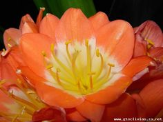 Clivia growers of distinction Arrow Keys, Close Image, Rose, Flowers, Plants, Pink, Florals, Roses, Planters