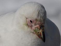 Snowy (Pale-faced) Sheathbill (Chionis albus)