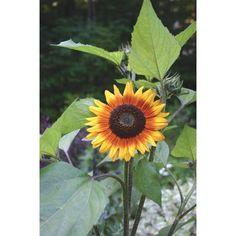 Cosmos Flowers, Blue Flowers, Wild Flowers, Garden Seeds, Planting Seeds, Planting Flowers, Amazing Flowers, Beautiful Roses, Wallpaper Nature Flowers