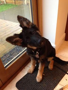 german shepherd puppy listen to you