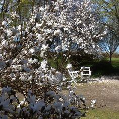 Magnolia in my garden today 27 April 2015 / Ann-Sofi Sweden