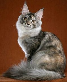 Maine Coon: Black Silver Ticked Torbie