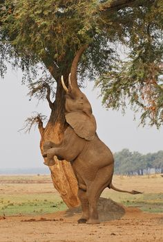 This behaviour is apprently often seen in Mana Pools, Zimbabwe. The Elephant is shaking seed pods from the tree,