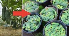 Jena, Artichoke, Sprouts, Vegetables, Food, Gardening, Irish, Cook, Artichokes
