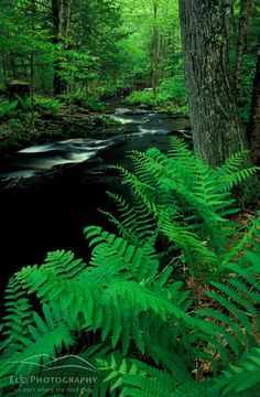 green ferns--evoking the feeling of a wooded stream
