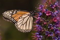 MAEscapes to host 'Native Plant Sale and Monarch Madness' May 17