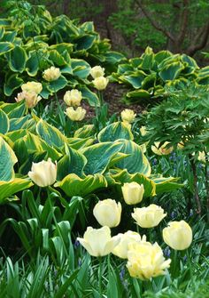 This beautiful yellow pairing is Tulipa 'Akebona' and Hosta 'Tokudama'. A nice stand of Asian tree peonies (Paeonia) show their buds and palmate foliage on the right.