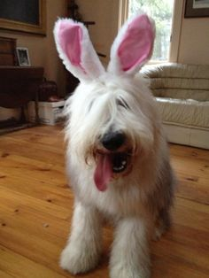 OMG...Indigo is hilarious...captions please?? Sheep Dogs, Doggies, Cute Puppies, Dogs And Puppies, Animal Humour, Portuguese Water Dog, Bearded Collie, Wheaten Terrier, Old English Sheepdog