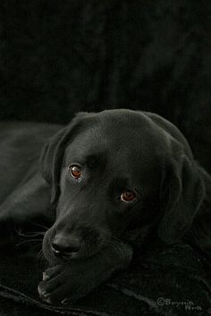 Labrador Retriever beautiful black lab - This one was taken for a competition on www.is were the theme was Color on color. It ended up in third place. Black Lab Puppies, Cute Puppies, Dogs And Puppies, Corgi Puppies, Pet Dogs, Dog Cat, Pets, Weiner Dogs, Le Husky