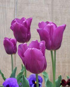 Franks Tulips