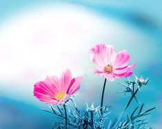 botanical photography floral cosmos photography by mylittlepixels