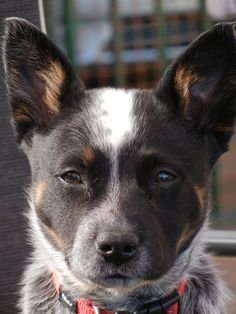 serious and beautiful Aussie Cattle Dog, Australian Cattle Dog, Cattle Dogs, Cute Dogs Breeds, Herding Dogs, Dog Rules, Animals Beautiful, Adorable Animals, Blue Heelers