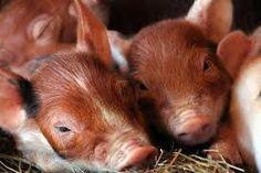 Image result for duroc pig