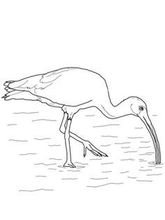 White Ibis Coloring Page From Category Select 30329 Printable Crafts Of Cartoons Nature Animals Bible And Many More