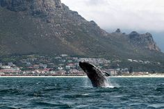 A Southern right whale breaches near the shore of Muizenberg Beach in False Bay, Cape Town, South Africa.