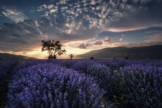 Twilight in the land of lavender