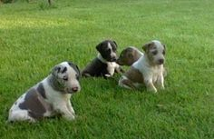 Hoots Catahoulas find us on Facebook!!