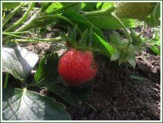 Prossima settimana raccoglieremo probabilmente anche le fragole che sono in fase di maturazione.