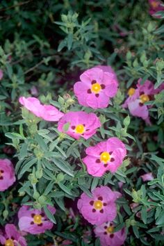 Cistus x purpureus (Purple Rock Rose) Drought-tolerant and evergreen, rock and sun roses prefer a sunny site and well-drained soil, and can be grown to 3 feet tall and 3 feet wide. They can thrive in a rock garden or on a sunny bank. Front Yard Plants, Rock Garden Plants, Cottage Garden Plants, Dry Garden, Garden Shrubs, Pink Perennials, Hardy Perennials, Rose Hardy, Mediterranean Plants