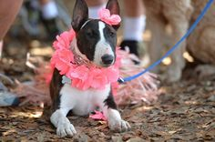 Pit bulls and plenty of other dog breeds decked out in Hawaiian attire turned out Sunday for Bully Walk 2015 at Woodward Park.